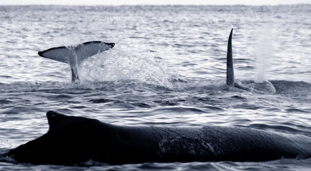 I heldige sesonger er hvalen en hyppig gjest.